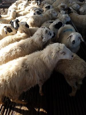 这是一张关于杜泊绵羊 50-80斤 的产品图片
