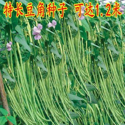 江西省南昌市南昌县长青豆角种子 ≥98%