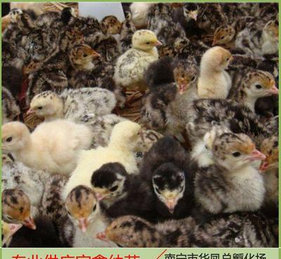 这是一张关于火鸡苗 的产品图片