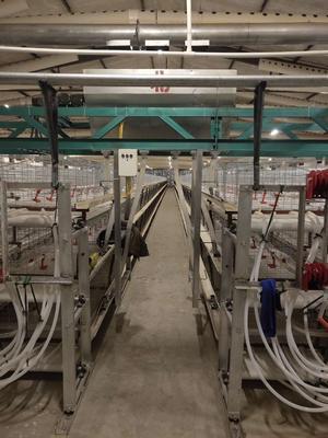 这是一张关于肉鸡苗 的产品图片