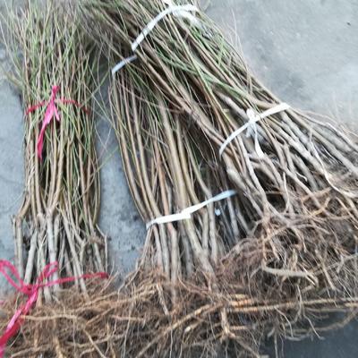 这是一张关于油桃苗 1~1.5米 的产品图片
