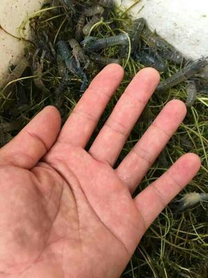 广东省茂名市电白区澳洲淡水小龙虾苗