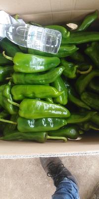 这是一张关于鲜泡椒 15~20cm 微辣 靑色 的产品图片