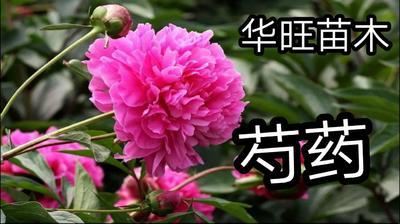 山东省临沂市平邑县多花芍药 0.5~1米 2cm以下
