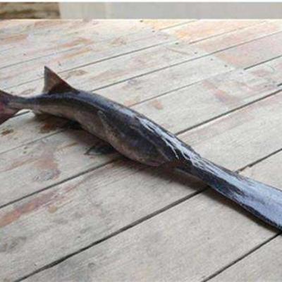 这是一张关于鸭嘴鲟 野生 1-2公斤 的产品图片