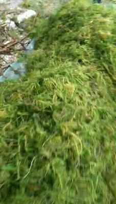 这是一张关于杨树苗 的产品图片