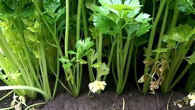 山东省潍坊市安丘市法国皇后芹菜 60cm以上 0.5斤以下 大棚种植