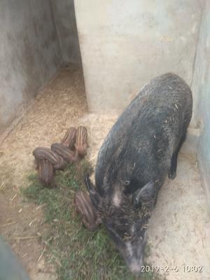 陕西省商洛市洛南县特种野猪 统货 40-60斤