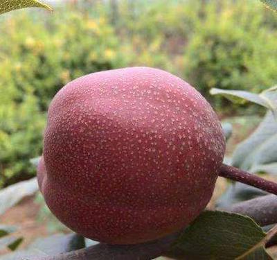这是一张关于奥红一号红梨苗 1~1.5米 的产品图片