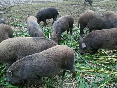 广西壮族自治区桂林市资源县特种野猪 统货 100斤以上