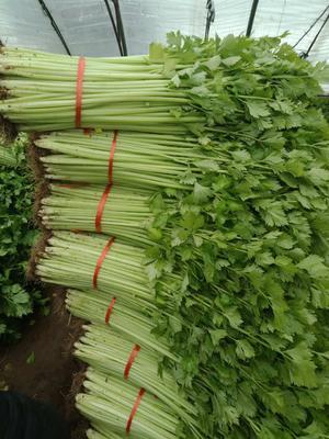 山东省临沂市沂水县红根芹菜 40~45cm 0.5~1.0斤 大棚种植