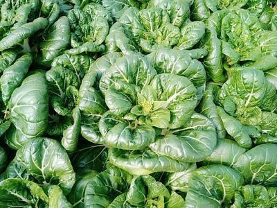 上海徐汇区奶白菜 1斤以下 净菜