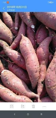 这是一张关于商薯19号  1两 红皮 脱毒商薯19红薯的产品图片