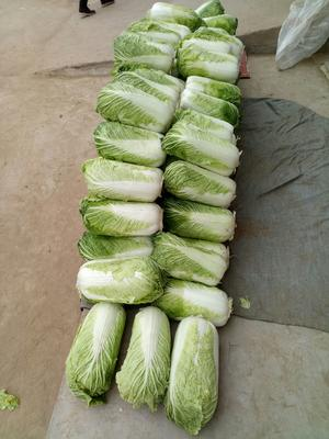 山东省泰安市岱岳区北京3号大白菜 3~6斤 净菜