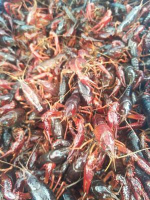 这是一张关于小龙虾苗  龙虾种苗活体包邮到家的产品图片