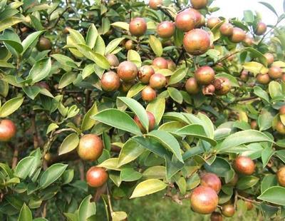 湖南省怀化市鹤城区野生山茶油