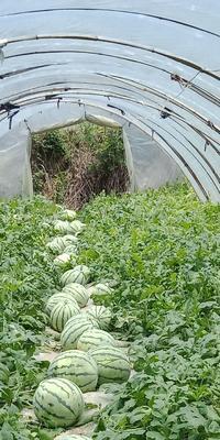 江西省新余市渝水区8424西瓜 15斤打底 8成熟 1茬 有籽