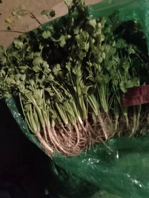 山东省聊城市东昌府区铁杆青香菜 25~30cm