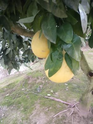 四川省广安市岳池县蜜柚 3斤以上