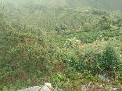 云南省红河哈尼族彝族自治州绿春县云南绿茶 二级 散装