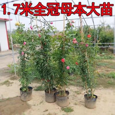 江苏省宿迁市沭阳县藤本月季  欧月 品种齐全