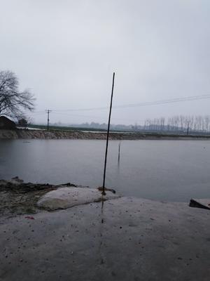 湖北省荆州市公安县池塘草鱼 人工养殖 1-2.5公斤