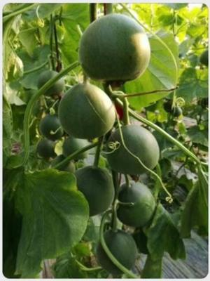 这是一张关于绿宝甜瓜 0.5斤以上 的产品图片