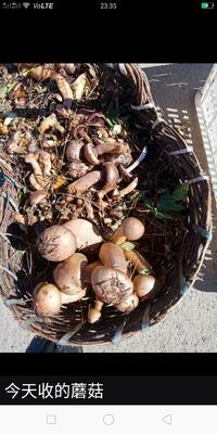 这是一张关于生野干榛蘑 6-12个月 的产品图片