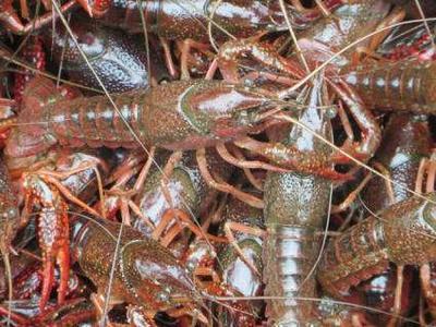 这是一张关于河虾  塘口龙虾种虾苗的产品图片