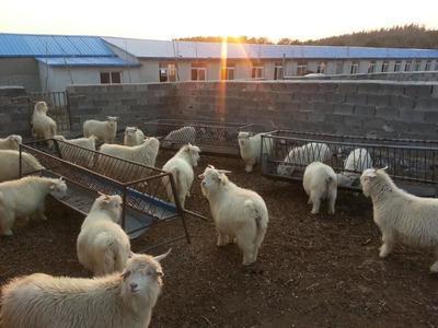 这是一张关于山羊 80-110斤 的产品图片