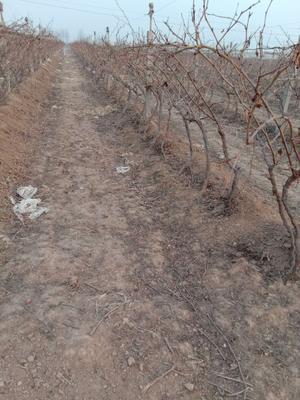 这是一张关于巨峰葡萄苗 的产品图片