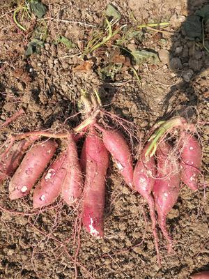 这是一张关于商薯19号 混装通货 红皮 的产品图片