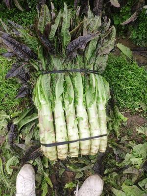 这是一张关于紫叶香莴笋 1.0~1.5斤 50-60cm 的产品图片