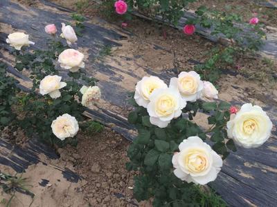 陕西省宝鸡市渭滨区切花玫瑰