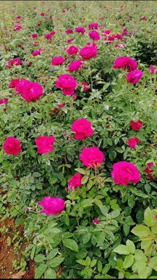 这是一张关于食用玫瑰 的产品图片