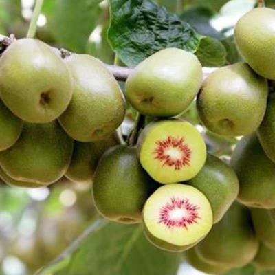 这是一张关于苍溪红心猕猴桃苗 嫁接苗 的产品图片