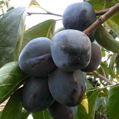这是一张关于黑柿苗 的产品图片