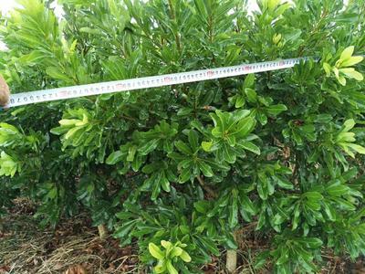 这是一张关于大黑炭杨梅树苗 的产品图片