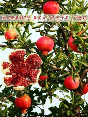 这是一张关于红如意软籽石榴树苗 的产品图片