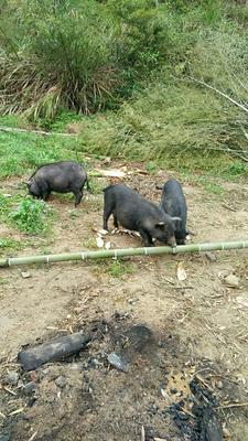 湖南省郴州市资兴市藏香猪猪苗