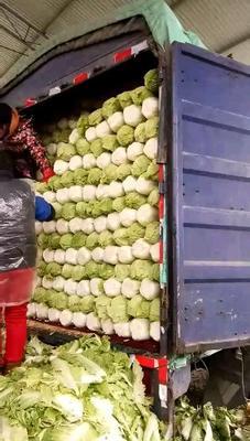 河北省保定市定州市北京新三号 3~6斤 净菜