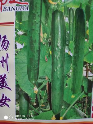 这是一张关于扬州美女黄瓜种 亲本(大田用种) ≥85% 的产品图片