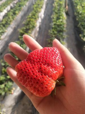 内蒙古自治区呼和浩特市赛罕区奶油草莓 20克以上