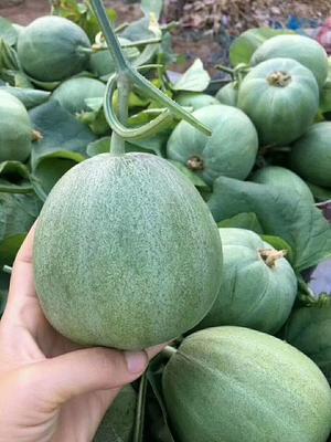 山东省潍坊市寿光市绿宝甜瓜 0.5斤以上