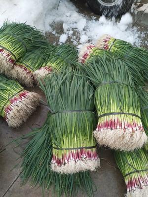 广西壮族自治区柳州市柳江县红根蒜苗 60 - 70cm