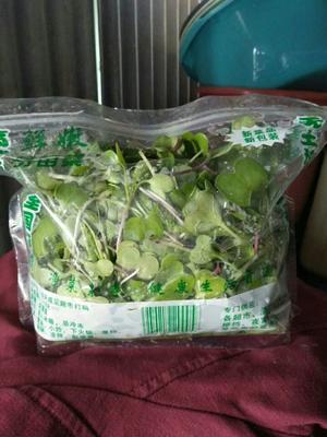 浙江省温州市瑞安市萝卜菜 5~8cm