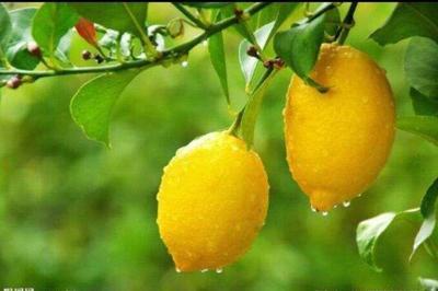 这是一张关于四季柠檬苗 的产品图片
