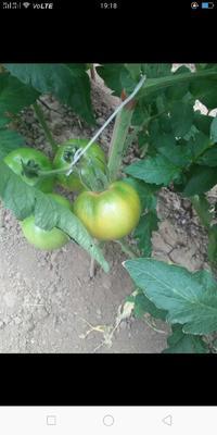 山东省青岛市胶州市粉果番茄 通货 弧二以上 软粉