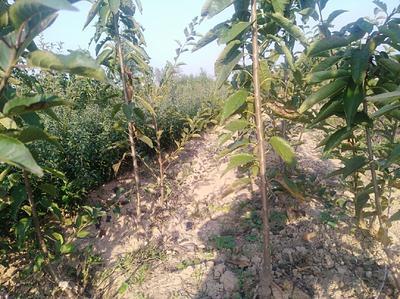 这是一张关于红灯樱桃苗 的产品图片
