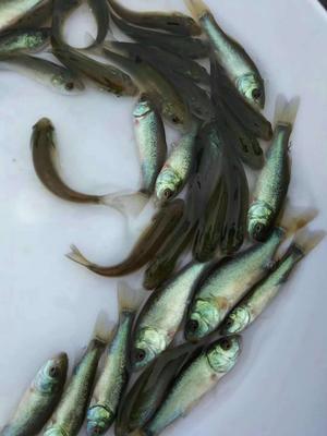 这是一张关于丁桂鱼苗 的产品图片